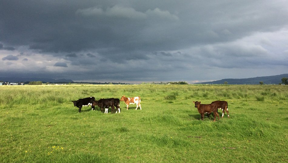 Our shetland calves and a summer storm