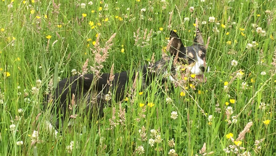 Faith our collie dog in the hay meadow