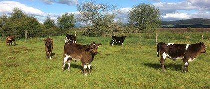 Shetland calves hanging out on West Moss-side Farm