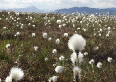 Bobbing bog cotton on the bog, Flanders Moss early June