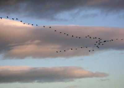 The arrival of the Pink footed geese in early October