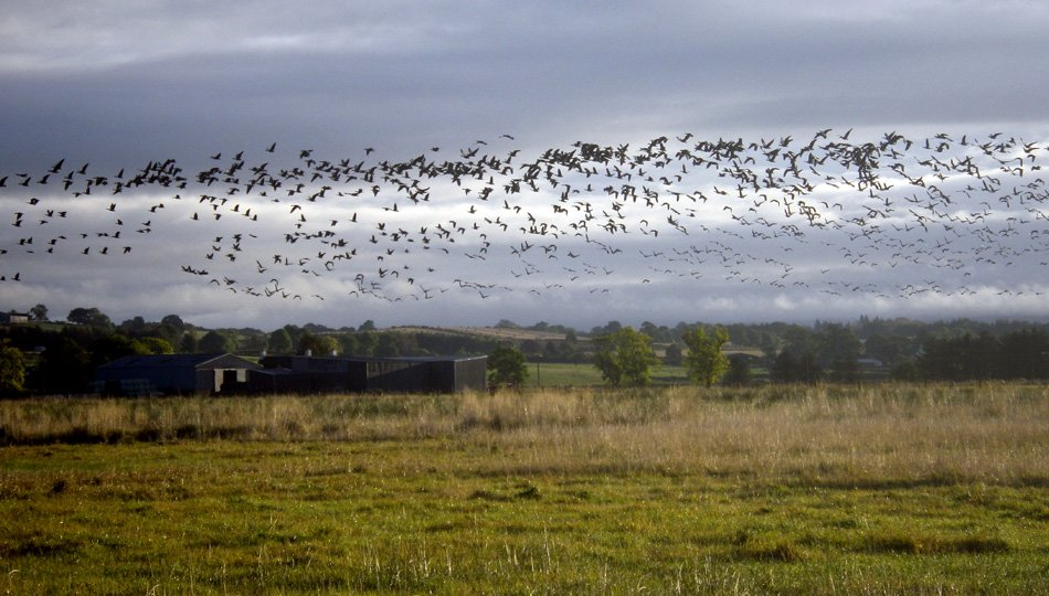 More pink-footed geese settling in for the day's grazing on West Moss-side fields